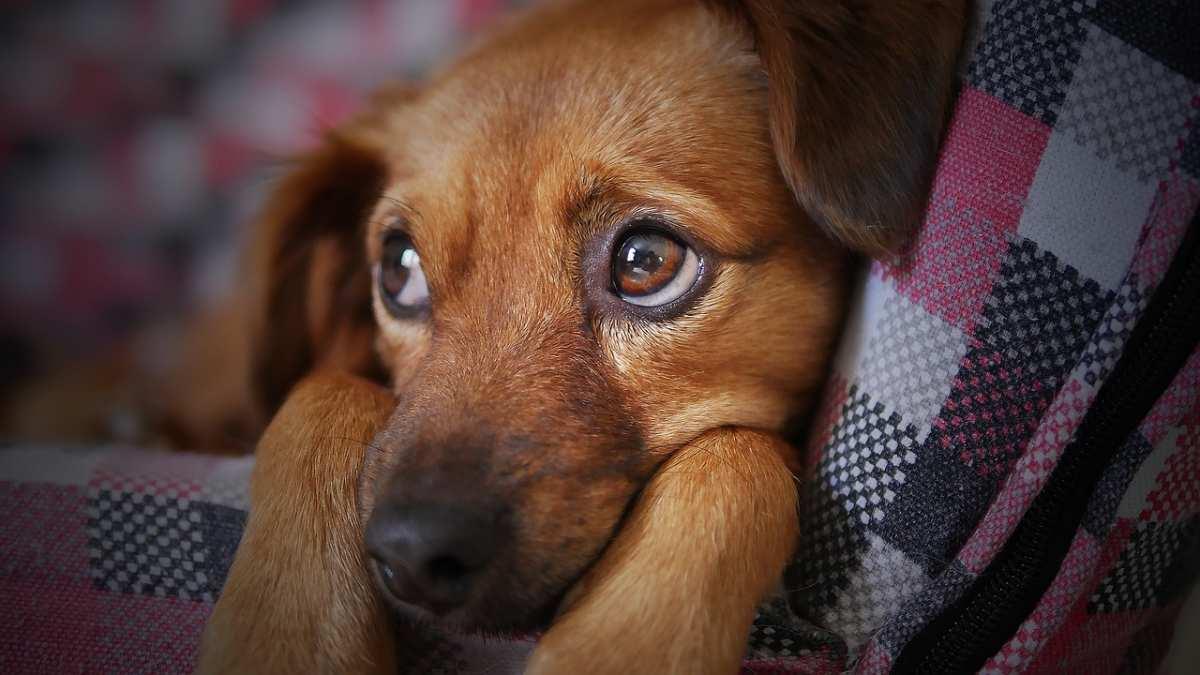 image Gale Auriculaire chez le chien et le chat (Acariens de l'oreille)