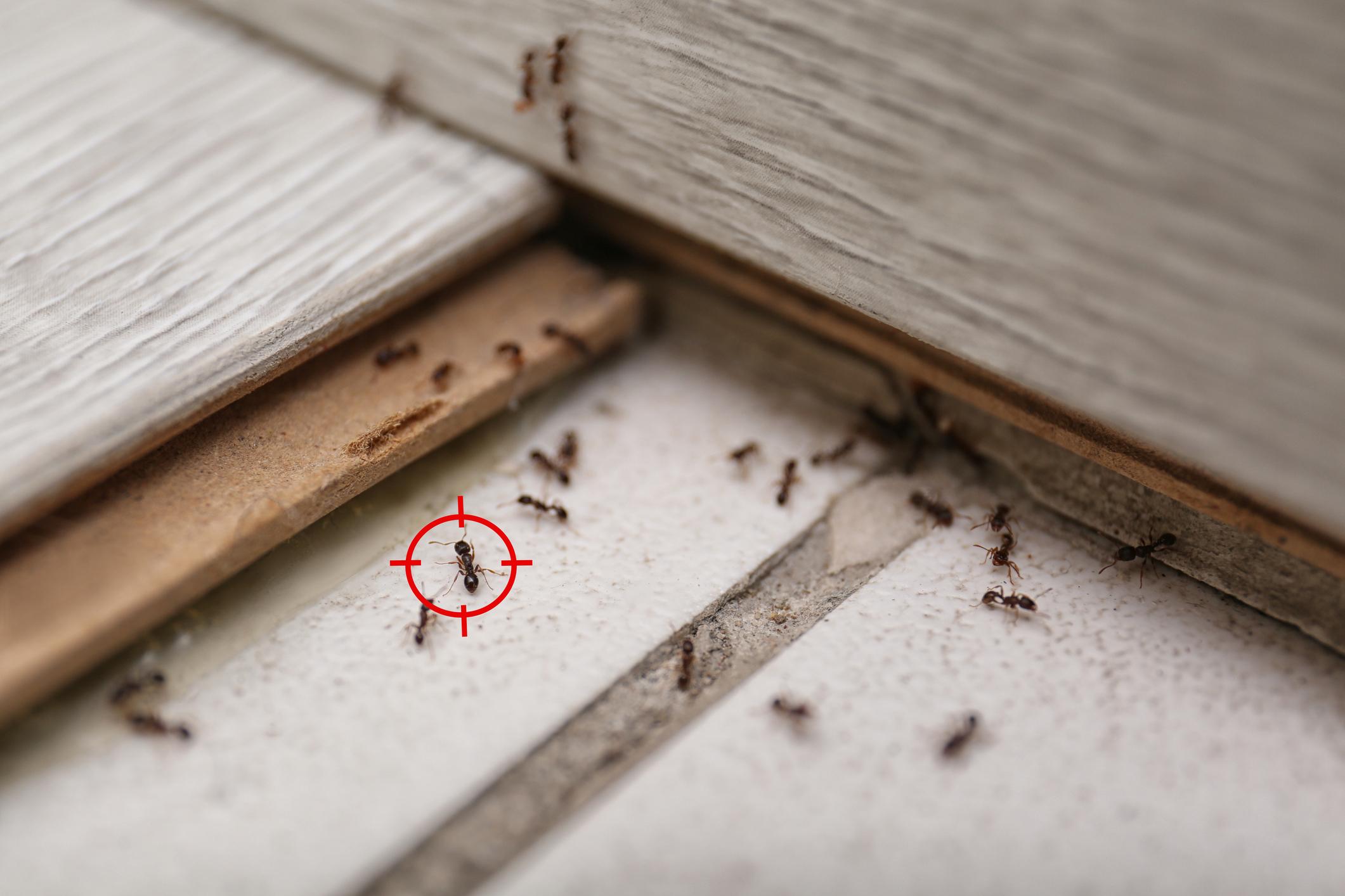 image Comment se débarrasser des fourmis ?
