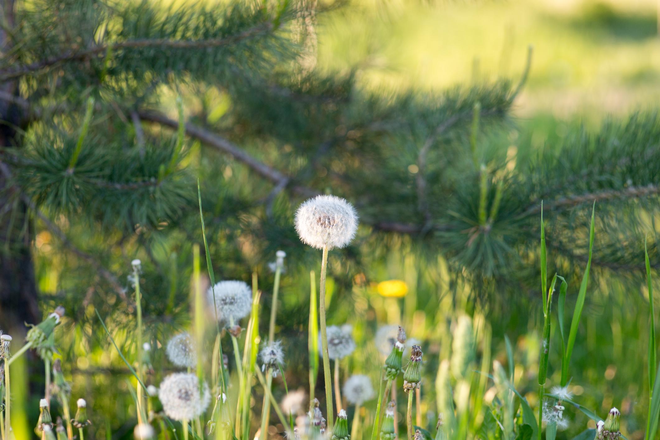 image Comment supprimer et contrôler la pousse des pissenlits au jardin ?