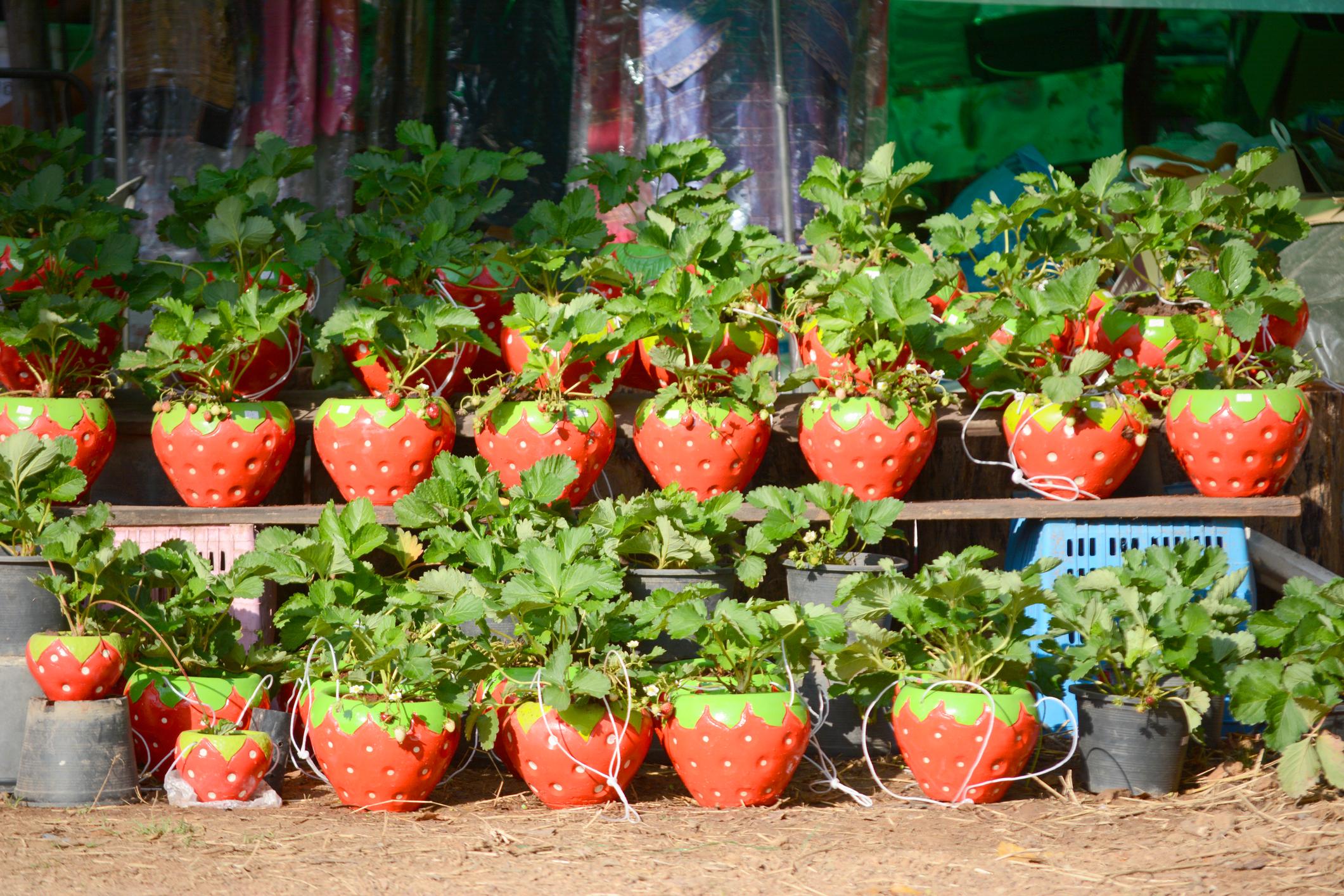 image Comment cultiver des fraises en pots ?