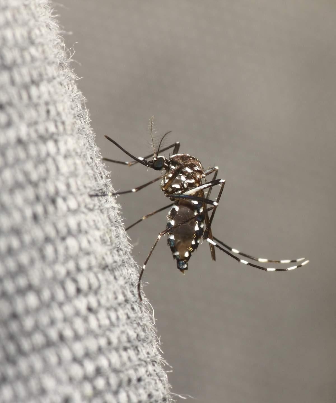 image Comment lutter contre le moustique tigre ? Le guide complet