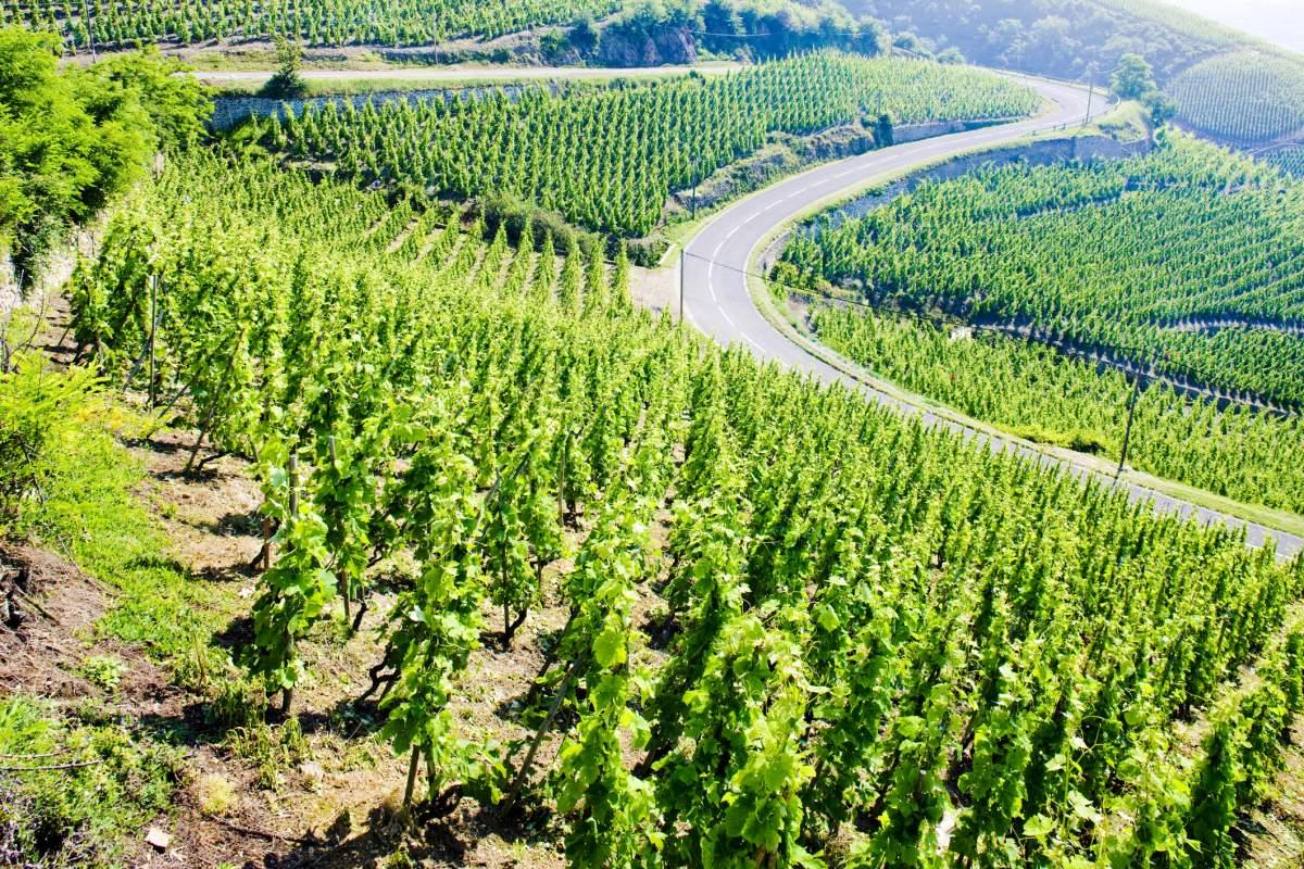 image Vignole du Côte-Rôtie ! Histoire, cépage et accord met et vin